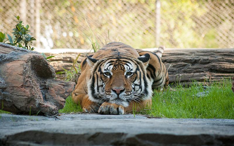 tigern och monologiden spelglädje brädspel sällskapsspel